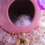 超級瑪羚鼠